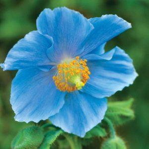 Himalayan Blue Poppy Meconopsis Betonicifolia
