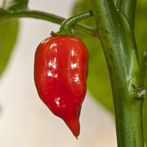 Hot Chilli Pepper Habanero Maya Red Organic