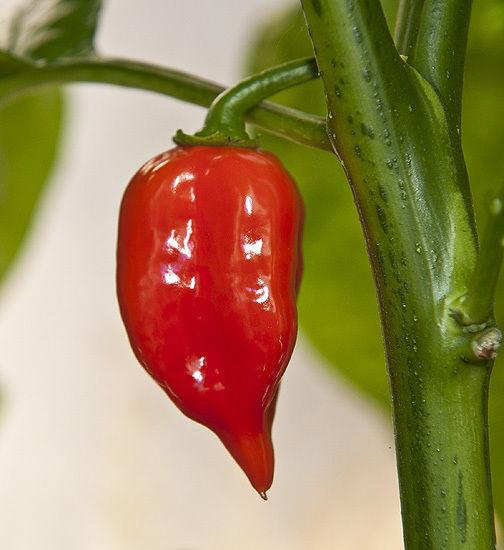 Hot Chilli Pepper Habanero Maya Red Organic