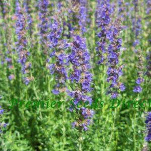 Herbs Hyssop