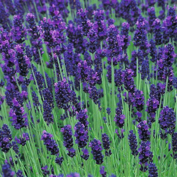 Lavender Lavendula Angustifolia Hidcote Blue