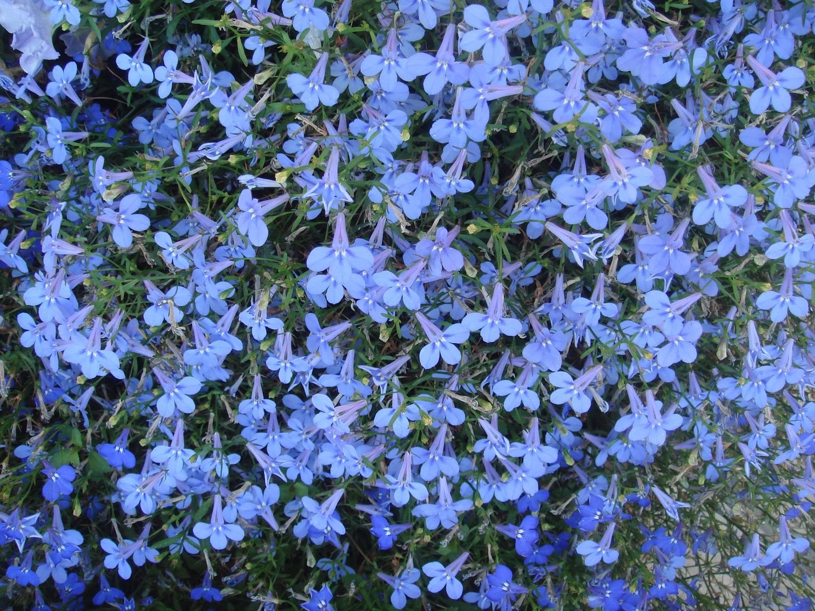 Lobelia Cambridge Blue Premier Seeds Direct