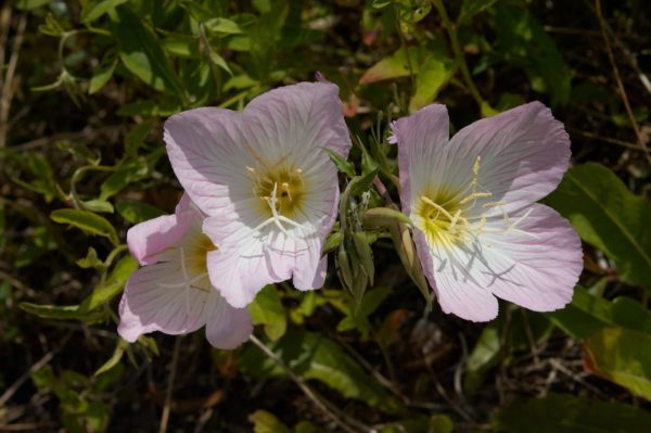 Oenothera Speciosa Evening Primrose