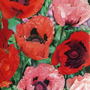 Oriental Perennial Poppy Mixed