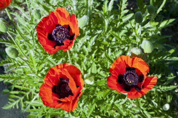 Oriental Perennial Poppy Scarlet