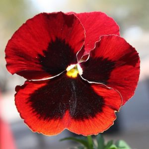 Pansy Cardinal Red
