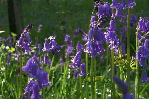 Pure English Bluebell