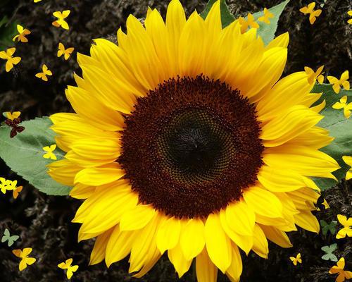 Sunflower Dwarf Sunspot
