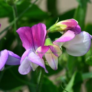 Sweet Pea Dwarf Theresa Maureen