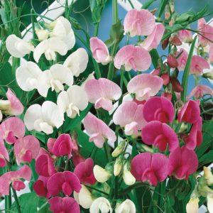 Sweet Pea Perennial Latifolius Mix