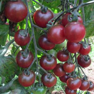 Tomato Cherry Rosella