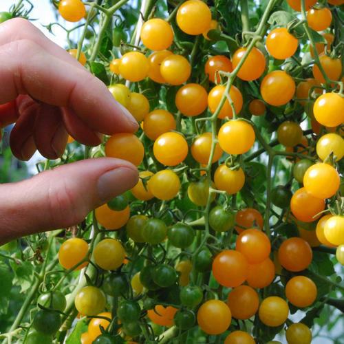 Tomato Currant Gold Rush