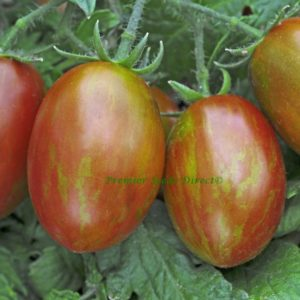 Tomato Tumbling Tigress F1
