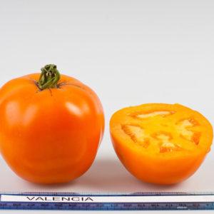 Tomato Valencia