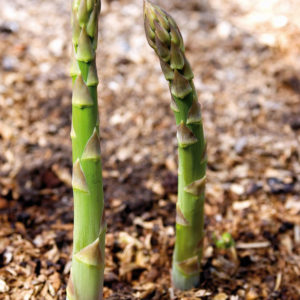 Asparagus Connovers Colossal