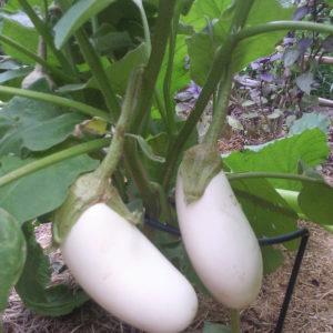 Italian Aubergine White Casper