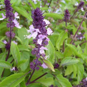 Herb Basil Cinnamon