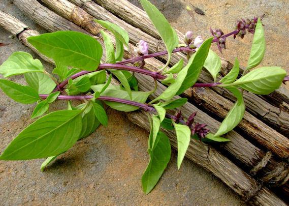 Herb Basil Licorice