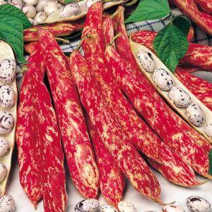 Dwarf Italian Borlotto Bean Lingua Di Fuoco Organic