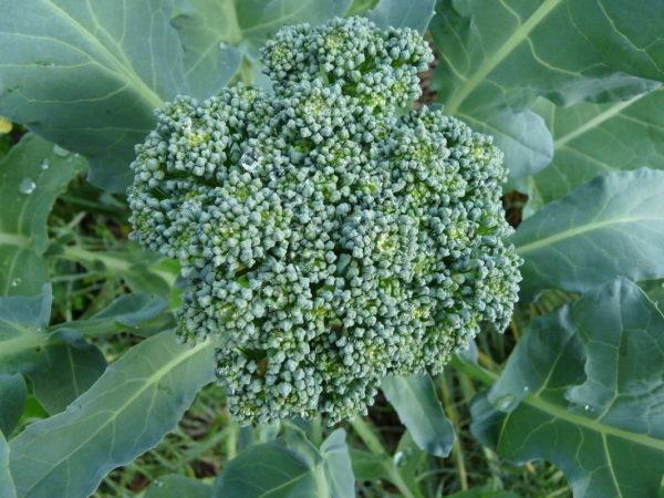 Broccoli De Ciccio Organic
