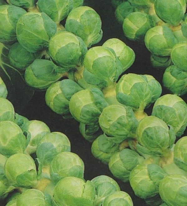 Brussel Sprout Groninger Organic