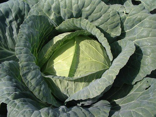 Cabbage Brunswick Heirloom
