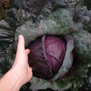 Cabbage Mammoth Red Rock