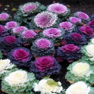 Cabbage Ornamental Mix
