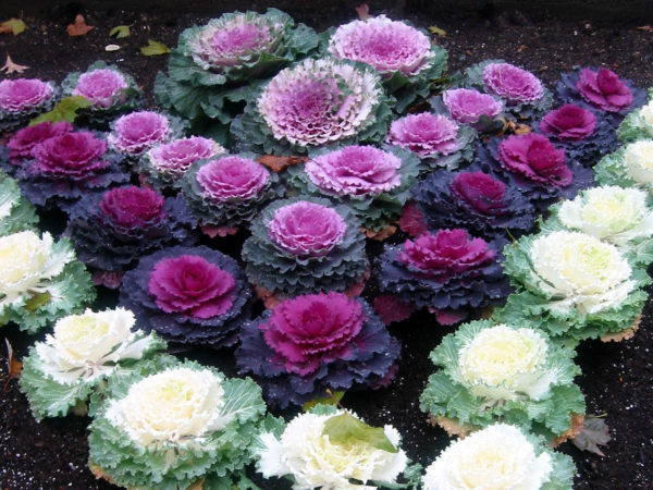 Cabbage Ornamental Mix