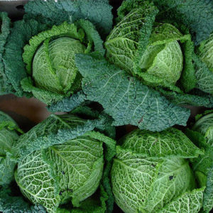 Cabbage Savoy Perfection