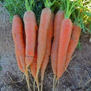 Carrot Early Nantes 2 Pelleted Seeds