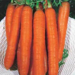 Carrot Main Crop Berlicum 2
