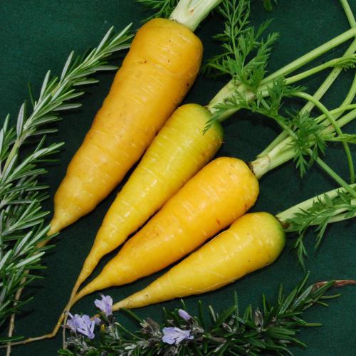 Carrot Solar Yellow