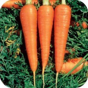 Carrot Danvers 126 Organic