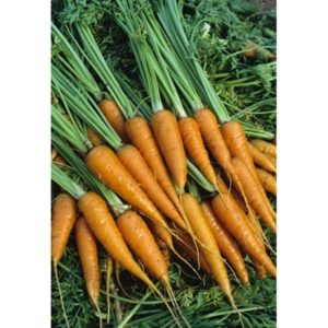 Miniature Carrot Little Finger Organic
