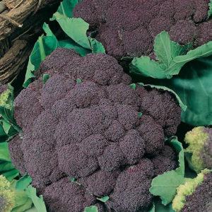 Italian Cauliflower Di Sicilia Violetto