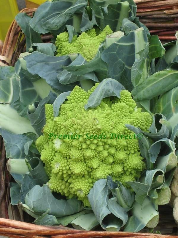 Italian Cauliflower Romanesco Ottobrino