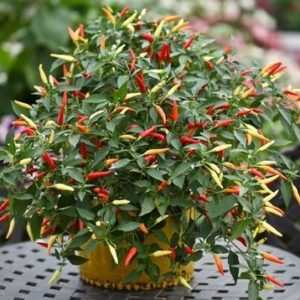 Hot Chilli Pepper Basket of Fire F1
