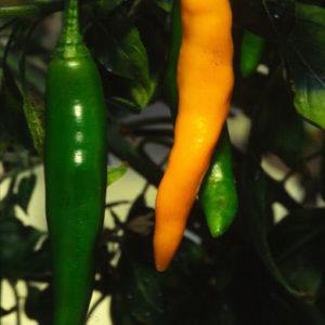 Hot Chilli Pepper Costeno Amarillo