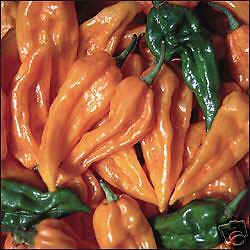 Hot Chilli Pepper Fatalii Extremely Hot