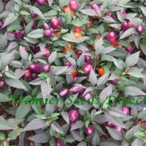 Hot Chilli Pepper Filius Blue