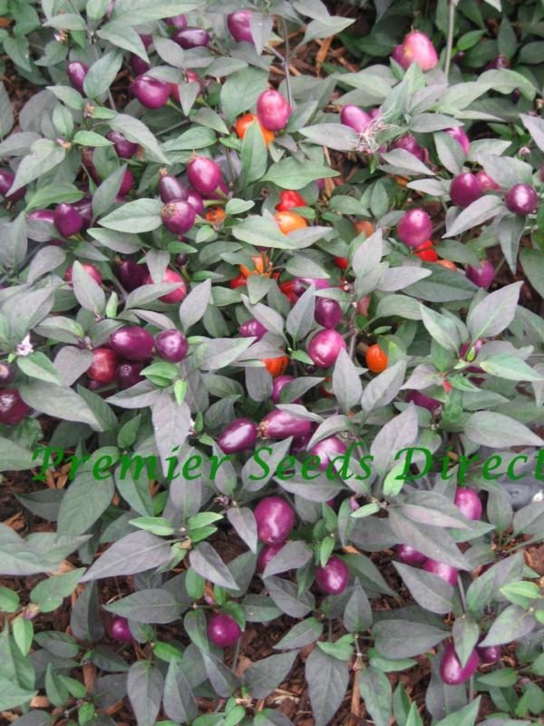 Hot Chilli Pepper Filius Blue