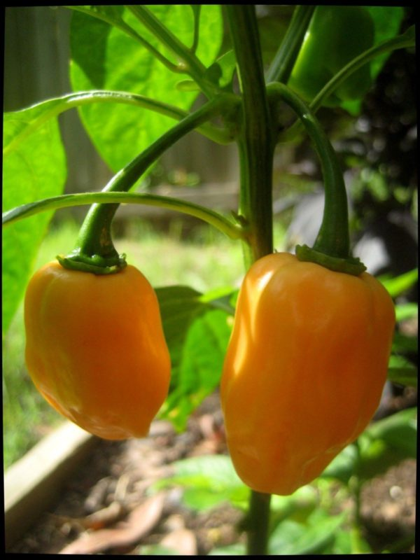 Hot Chilli Pepper Habanero Yellow