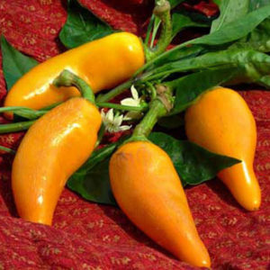 Hot Chilli Pepper Heirloom Orzoco