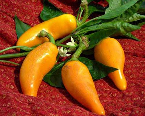 Hot Chilli Pepper Heirloom Orzoco