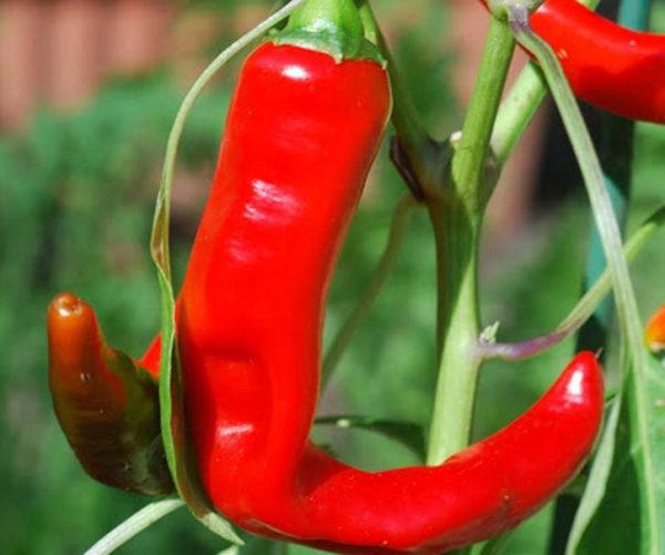 Hot Chilli Pepper Hot Portugal