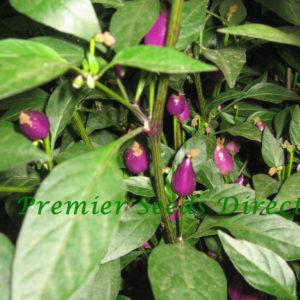 Hot Chilli Pepper Numex Centennial