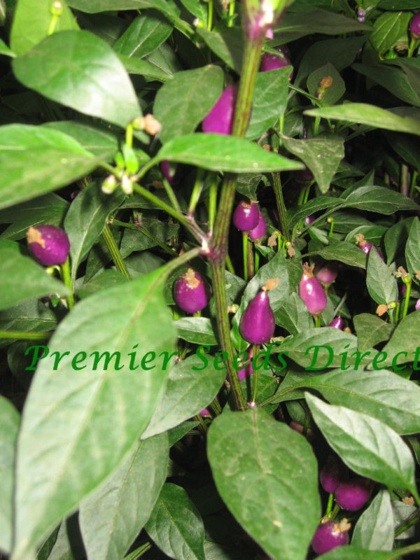 Hot Chilli Pepper Numex Centennial