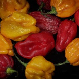 Hot Chilli Pepper Numex Suave Orange