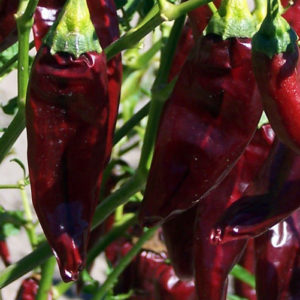Hot Chilli Pepper Onza